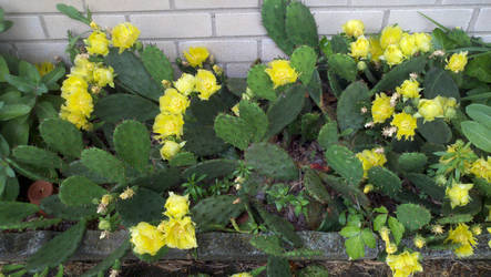 Opunta Cactus Blooming by BloodySurfer