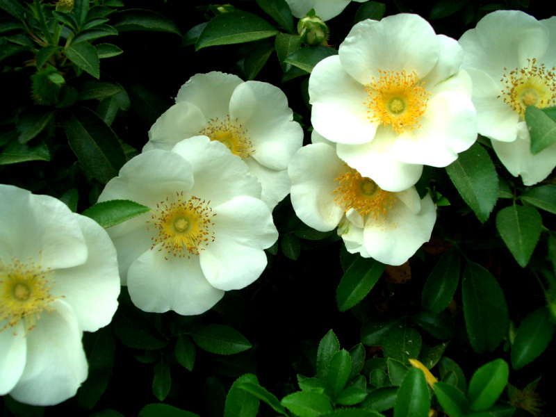 Quotes About The Cherokee Rose Quotesgram