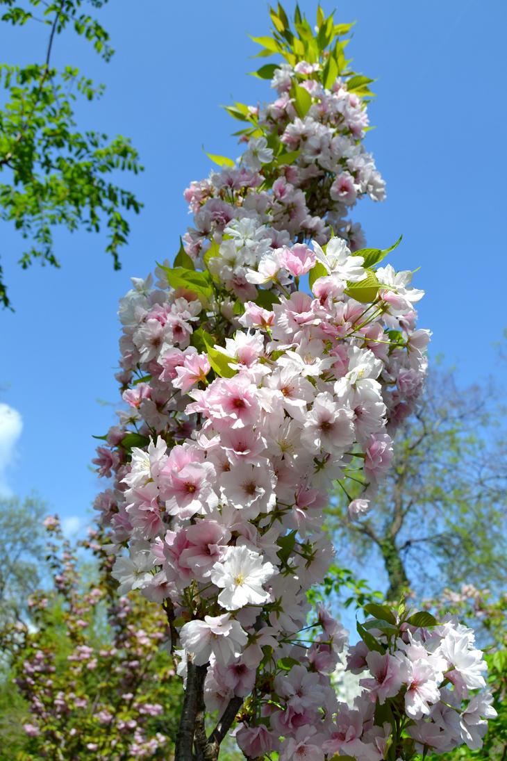 Sakura bloom by Hachidori25