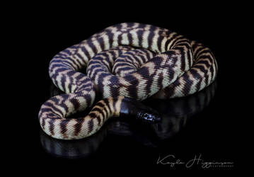 Black Headed Python Reflection by Nero-Egernia