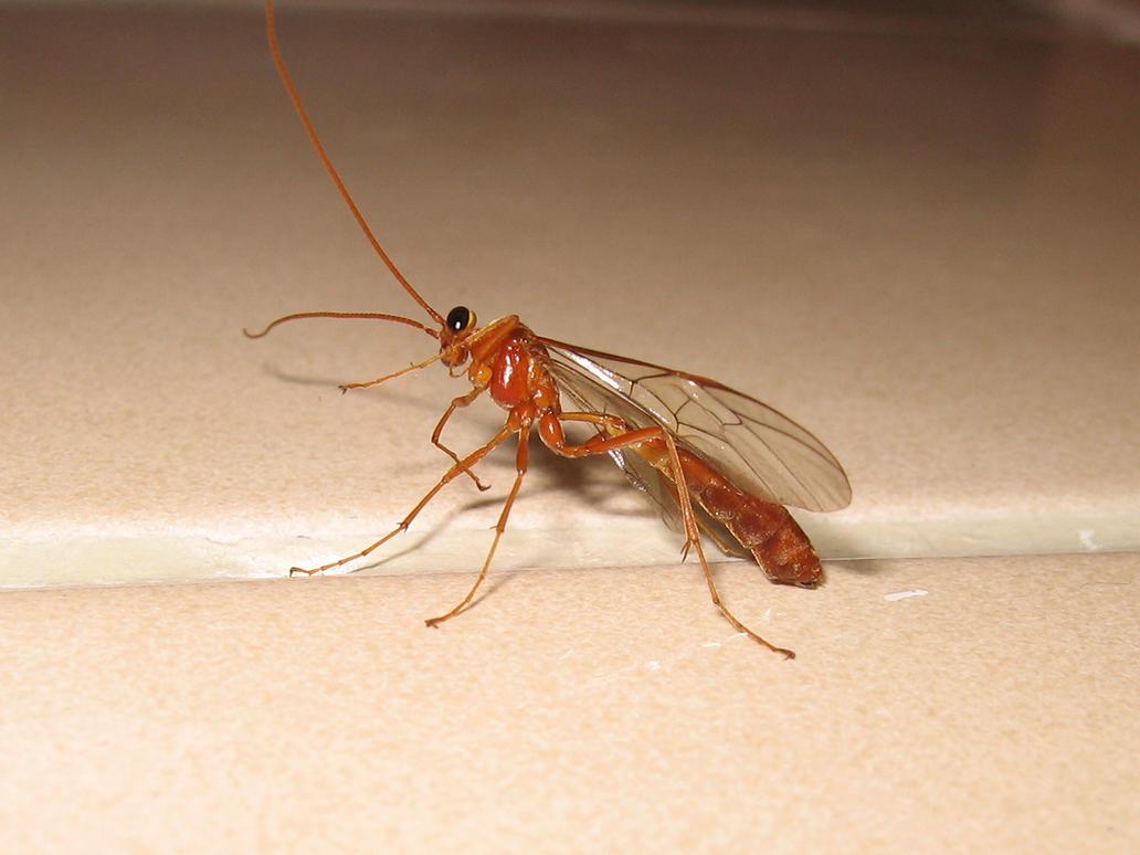 Ichneumon wasp by nekosnap on DeviantArt