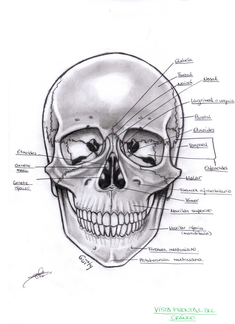 Anatomia del craneo by WityWillow on DeviantArt