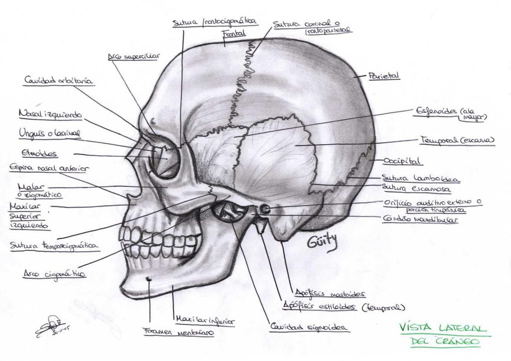 Anatomia del craneo 2 by WityWillow on DeviantArt