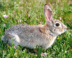 Hi-Res Cottontail by Ironpaw
