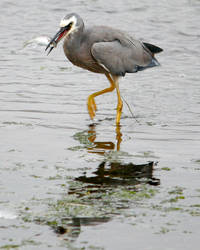 White Faced Heron and Prey by Ironpaw
