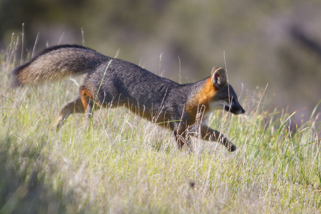 Santa Cruz Island Fox Leap by Ironpaw