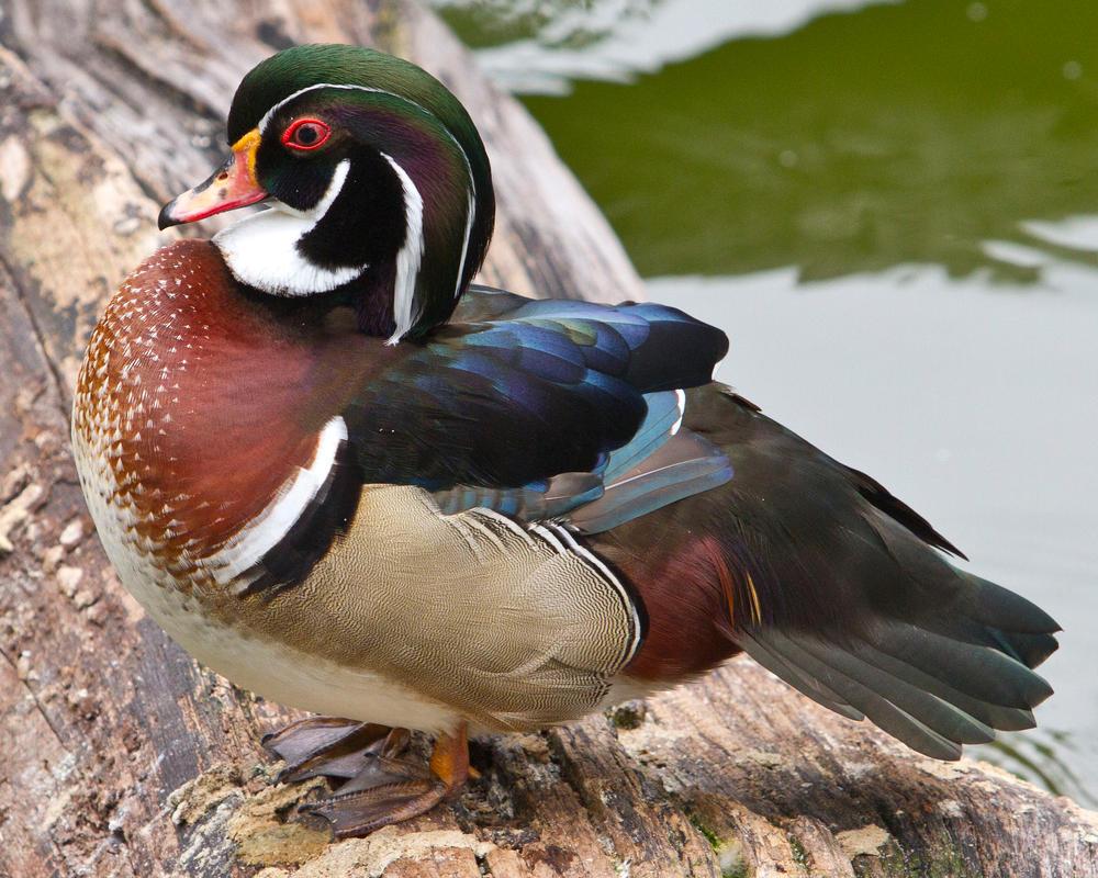 Kowloon Wood Duck (Aix sponsa) by Ironpaw