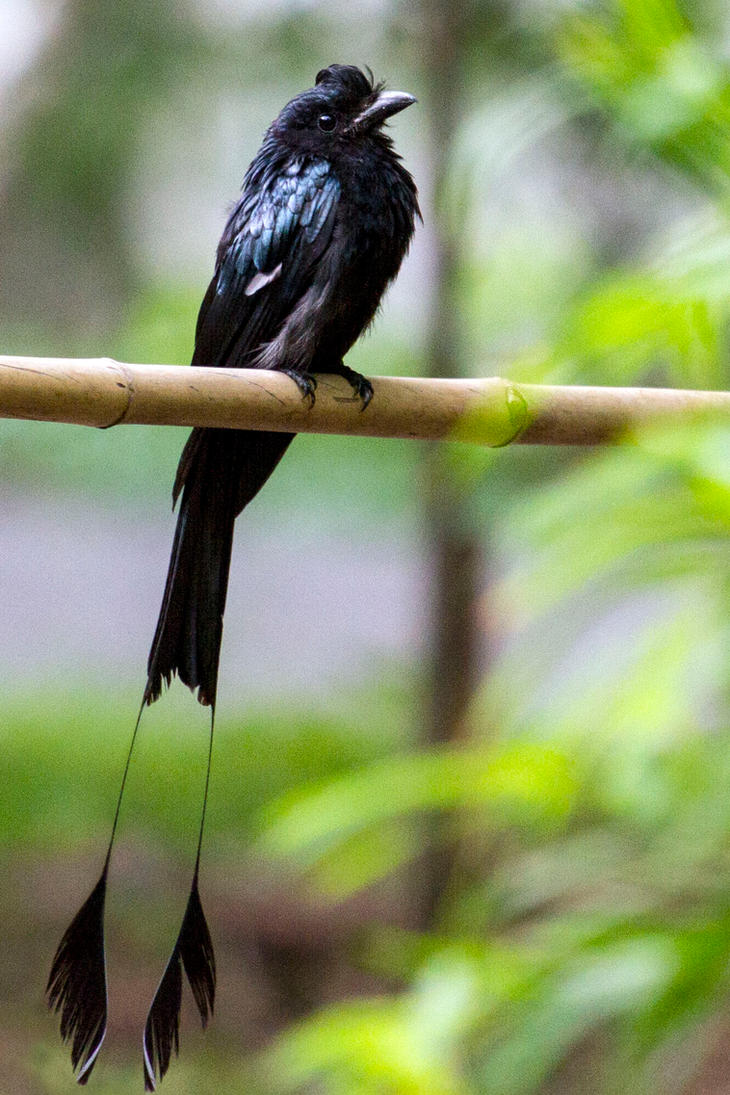 Greater Racket-tailed drongo (Dicrurus paradiseus) by Ironpaw