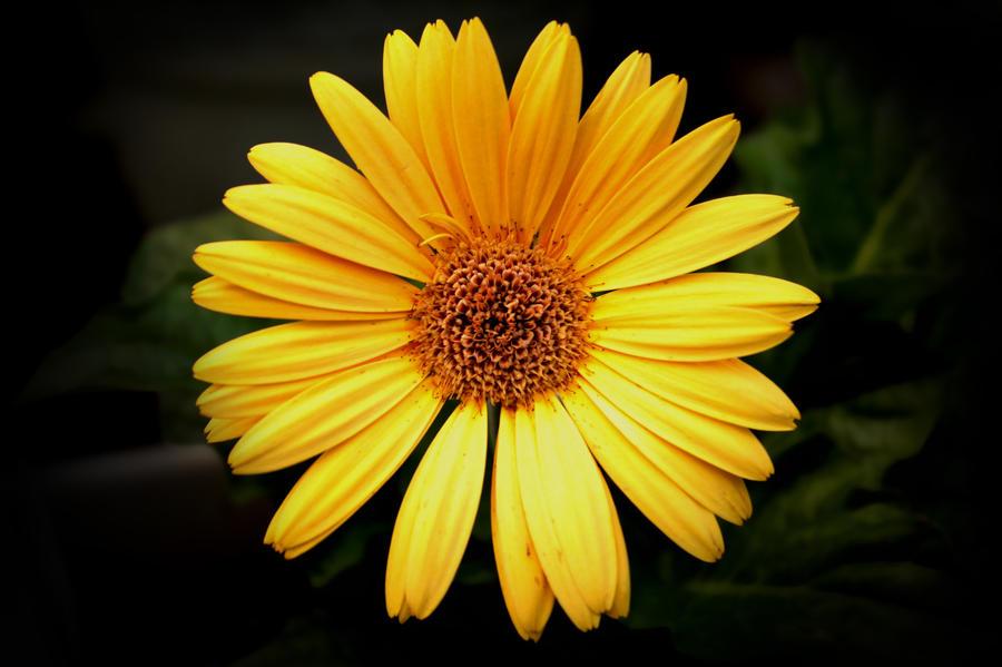 Yellow Gerber Daisy by designerfied on DeviantArt