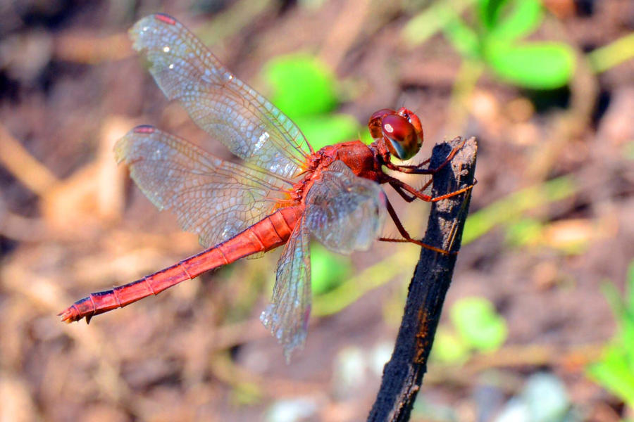 Red Dragonfly by pipiepy
