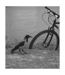 Corvus cornix et bicykl