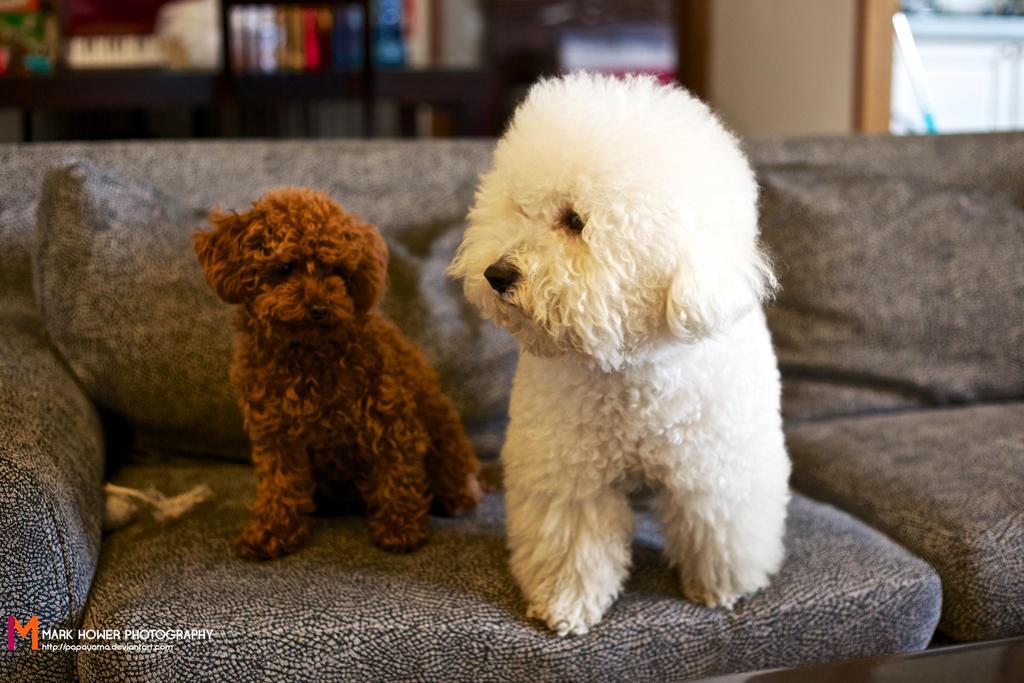 Teddy bear dog haircut
