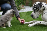 Puppy and a Great Dane