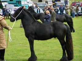 Fell Pony Stock 46 by FiagaiStock