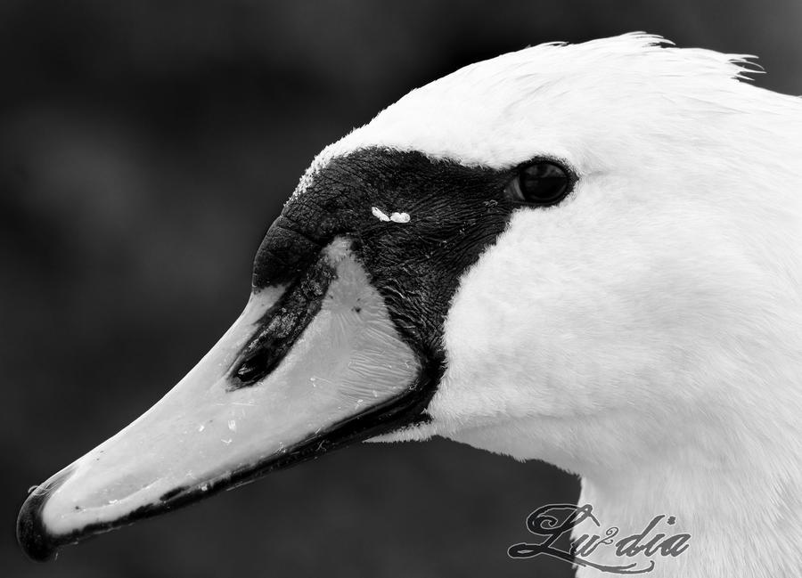 Swan by LueDscha