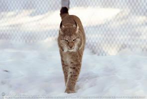 Lynx. by Ravenith