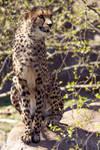 Cheetah Portrait II.
