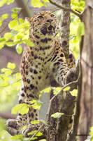 Climbing Leopard II by Ravenith