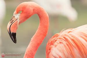 Flamingo Portrait III. by Ravenith