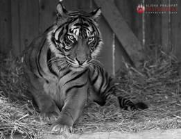 Sumatran tiger. by Ravenith
