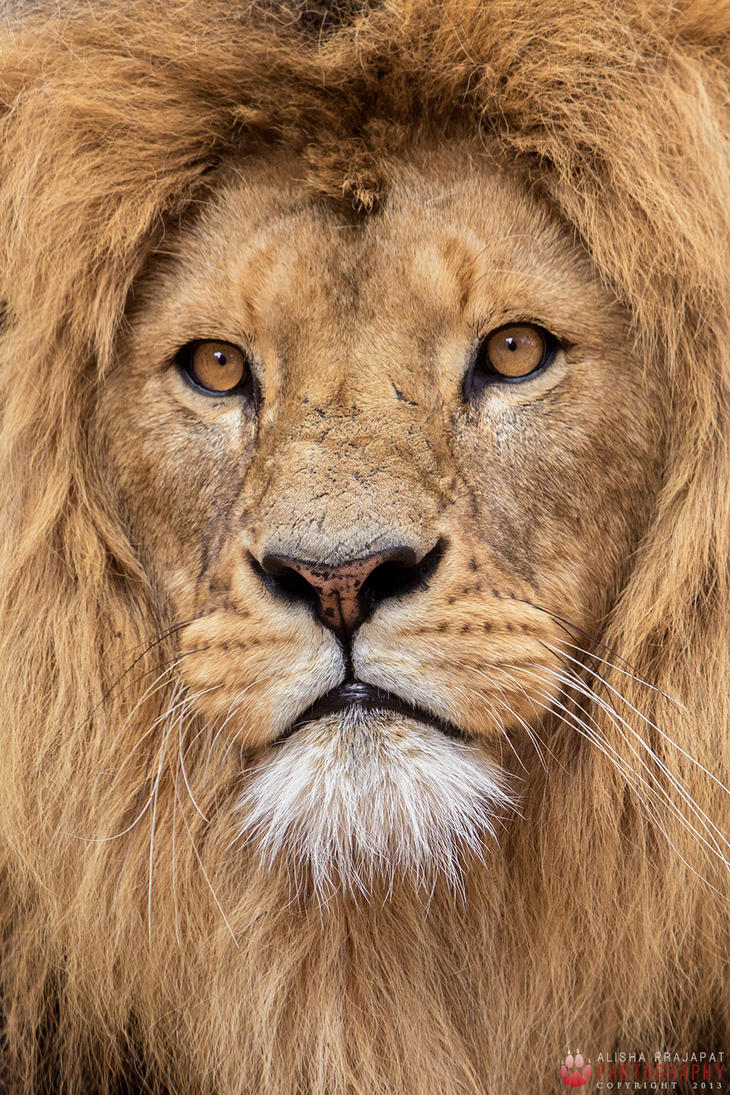 African Lion Portrait By Ravenith On Deviantart