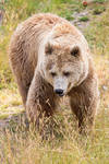 Portrait of a Brown Bear.