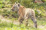 Walking tiger cub.