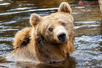 Nora, the brown bear.
