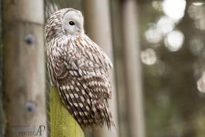Ural Owl II. by Ravenith