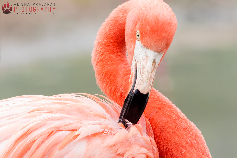 Flamingo portrait IV. by Ravenith