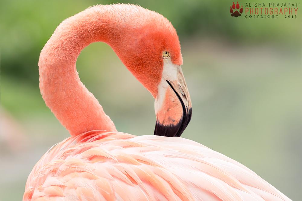 Sneaky Flamingo. by Ravenith