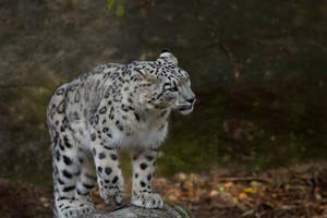 Snow leopard II. by Ravenith