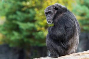 Chimpanzee. by Ravenith