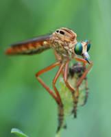 Robber Fly by Larah88