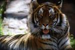Le Tigre.