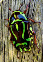 Beetle by Plantsoma