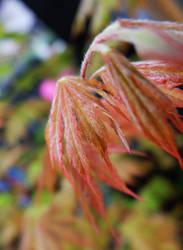 Red Leaf by pitadragon