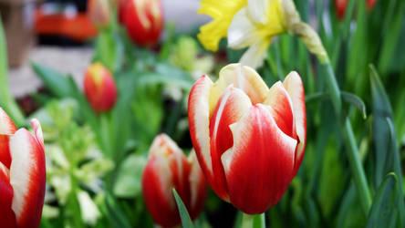 Tulips by pitadragon