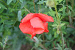 Red Wet Flower - 1