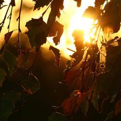 Sunny leaves by Ringtailmaki