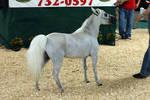 Grey Mini Horse Stock