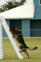 Shepherd Dog Climbing Stock by GloomWriter