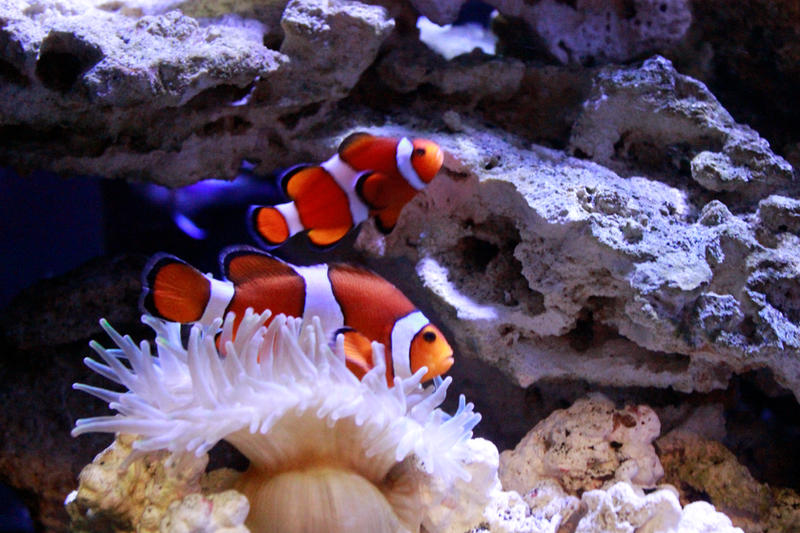 Clownfish Stock by GloomWriter