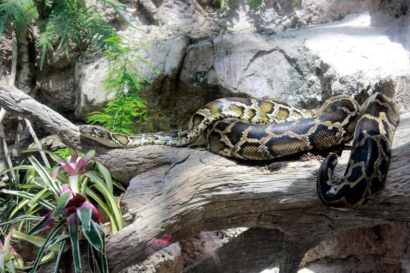 Burmese Python Stock by GloomWriter