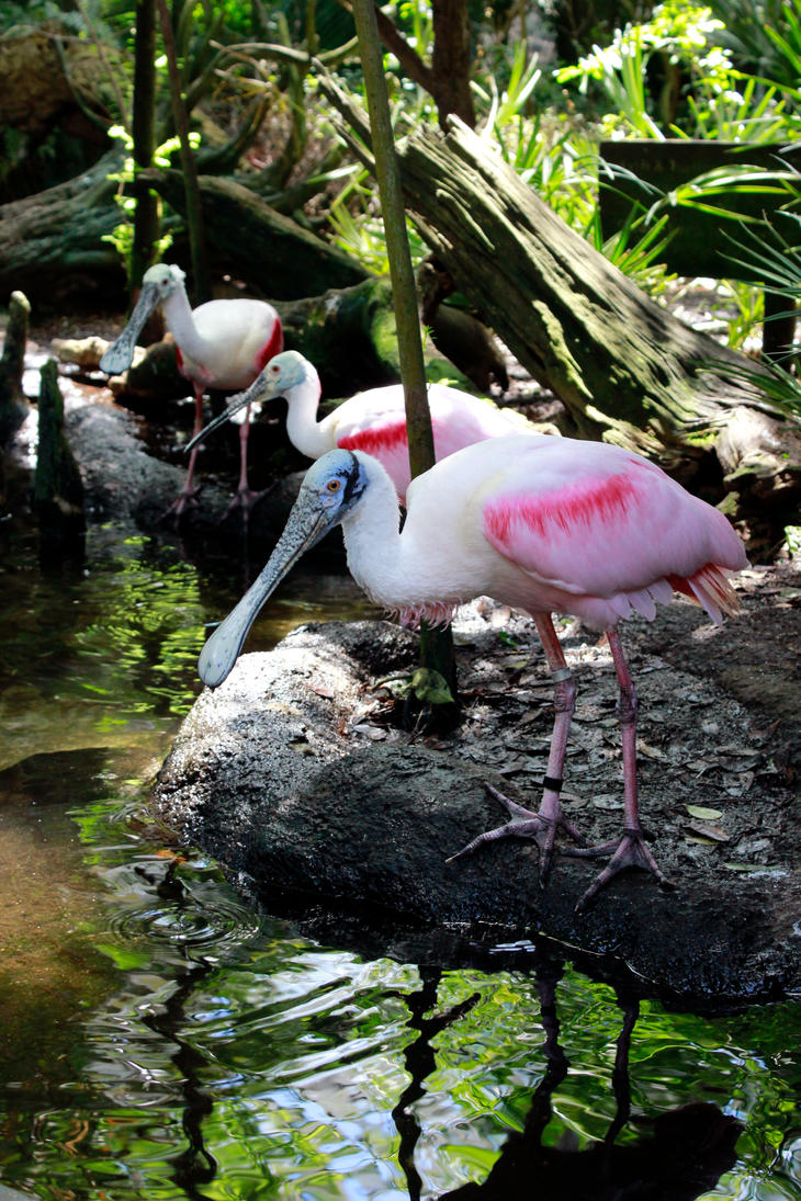 Roseate Spoonbill Bird Stock by GloomWriter