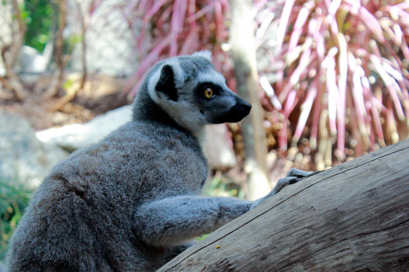 Ringtail Lemur Stock by GloomWriter