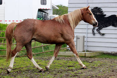 Sorrel Horse Stock