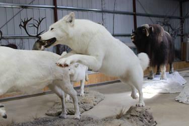 White Wolf Stock 2