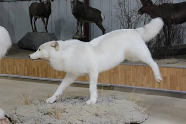 White Wolf Stock 3