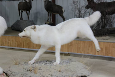 White Wolf Stock 3 by GloomWriter